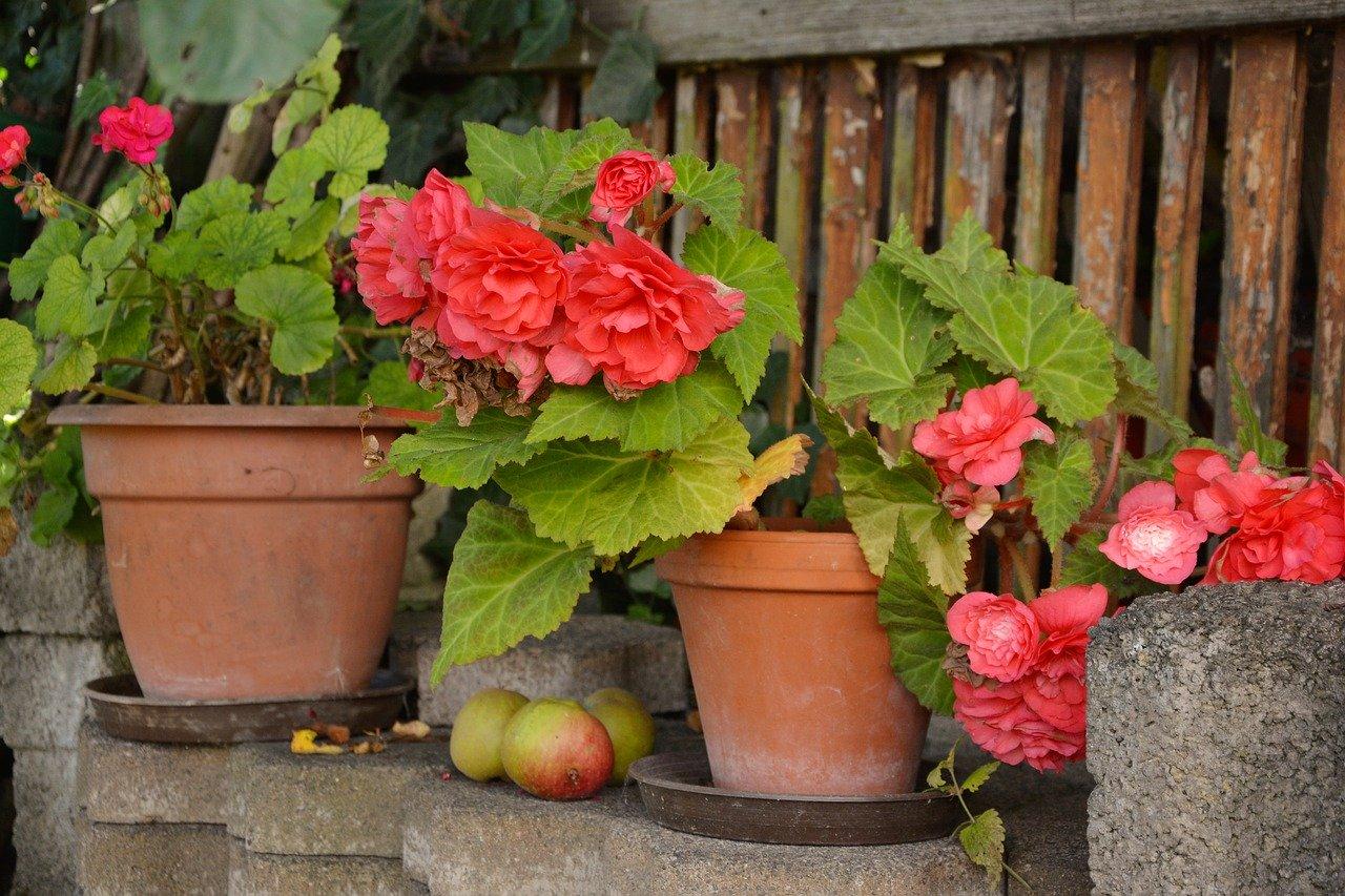 kwiaty, begonie